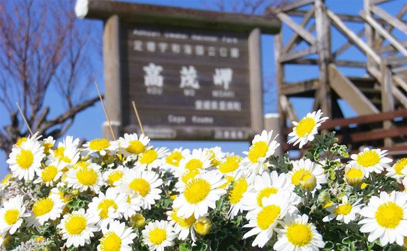 高茂岬の野路菊