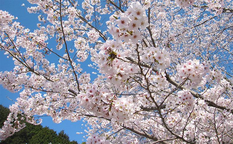 大森山桜園の桜