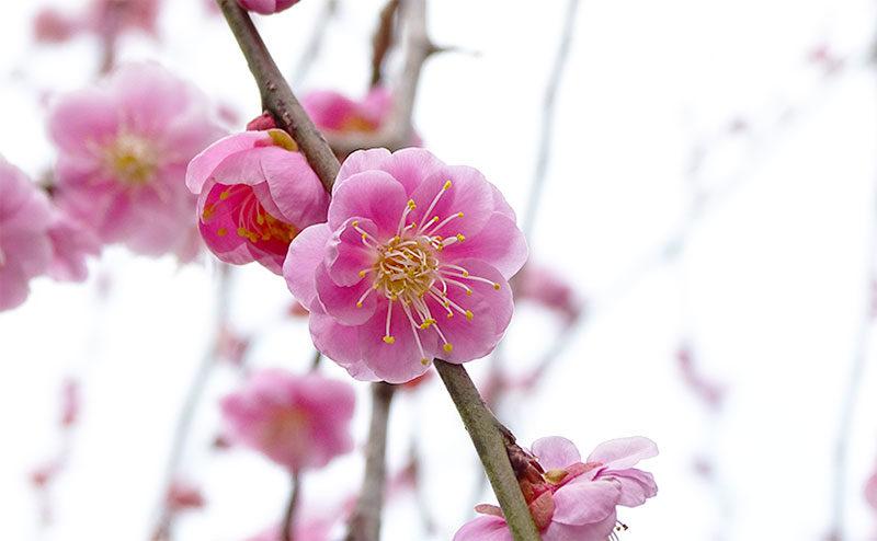 松軒山公園の梅